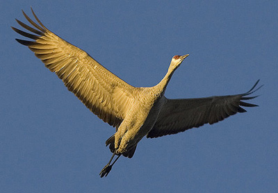Florida Sandhill Crane Flying